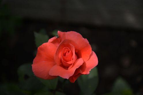 Обои Слегка раскрывшийся бутон алой розы с насекомым на лепестке, фотограф Julia Shalatonina