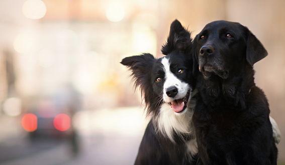 Обои «Фото друзей на пямять» Собаки на размытом фоне, сидят на тротуаре прижавшись к другу