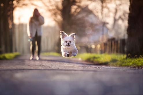 Обои Маленькая белая собачка почти летит за игрушкой брошенной хозяйкой