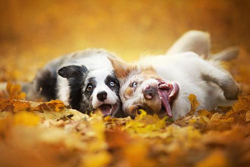 Обои «Корчим рожи, нас снимают» Две забавные собаки, валяются в желтых опавших листьях