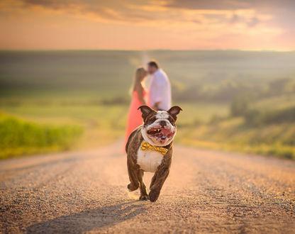 Обои Собака в бабочке, радостно бежит по дороге, позади нее, целуется влюбленная парочка