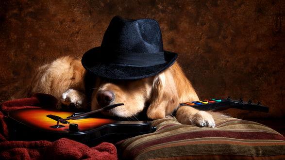 Обои «Rock Star»Золотистый ретривер в шляпе, лежит на электронной гитаре