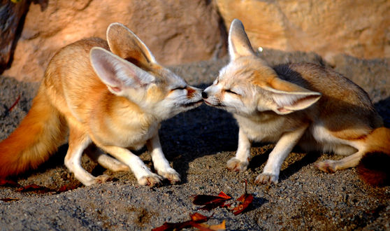 Обои Лисята обнюхиваются на камне