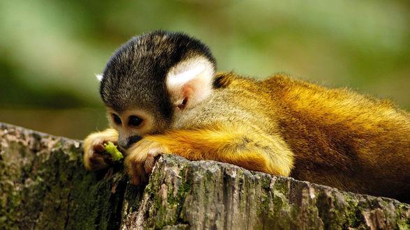 Обои Милая маленькая обезьянка лежит на камне