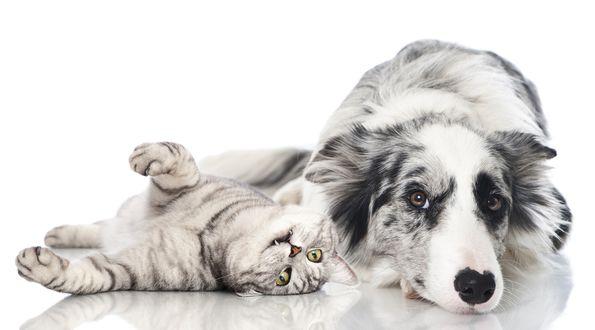 Обои Собака и кошка, пепельного цвета, лежат рядом, дружба животных