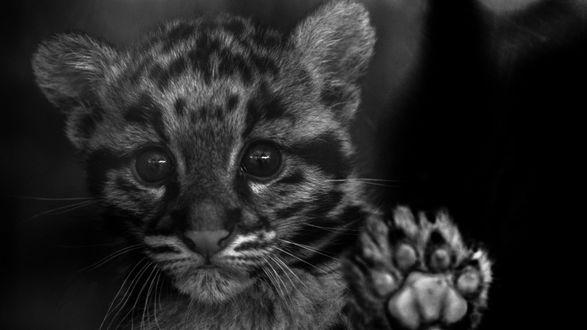 Обои Детеныш дымчатого леопарда положил лапу на стекло