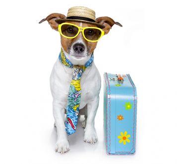 Обои Джек-рассел-терьер в шляпе очках с чемоданом и галстуком