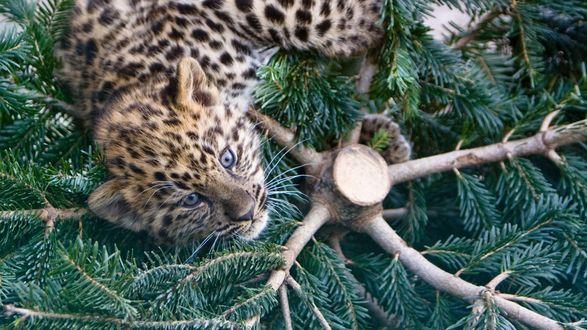 Обои Котенок амурского леопарда лежит на еловых лапах