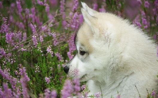 Обои Щенок хаски сидит среди сиреневых цветов