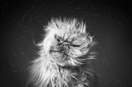 Обои Лохматая кошка трясет головой и телом, от которой во все стороны летят мелкие частицы шерсти, автор Zelda Dexter