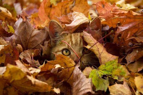 Обои Рыжий кот, спрятался в опавшей желтой листве