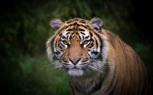 Обои Тигр на размытом фоне