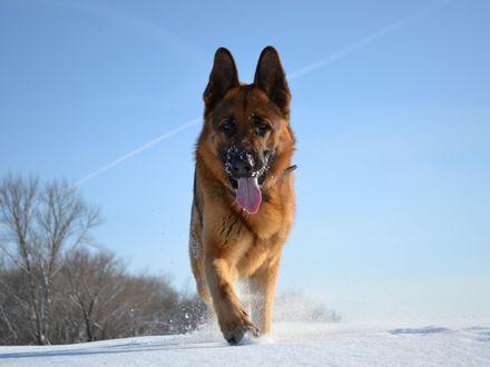 Обои Собака породы немецкая овчарка бежит по снегу