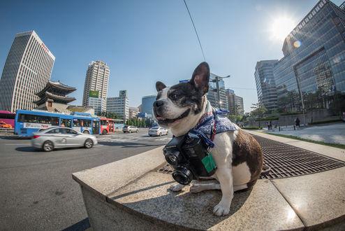 Обои Талантливый фоторепортер породы бостон - терьер на центральной улице Сеула Южная Корея