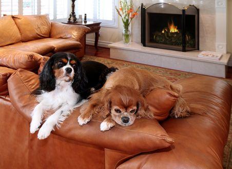Обои Очаровательные спаниели отдыхают на кожаном диване у камина