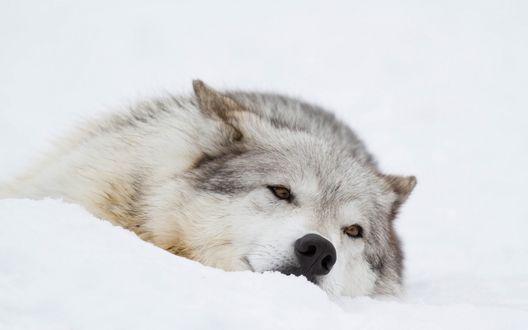 Обои Добродушная морда волка лежащего в снегу