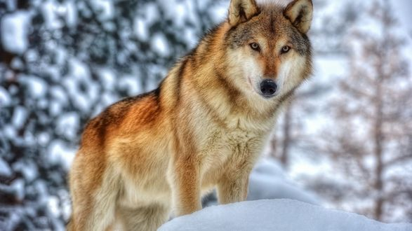 Обои Волк стоит на снегу на фоне леса