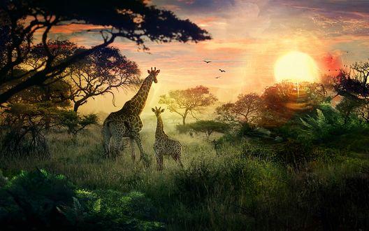 Обои Жирафы стоят у дерева на фоне заката