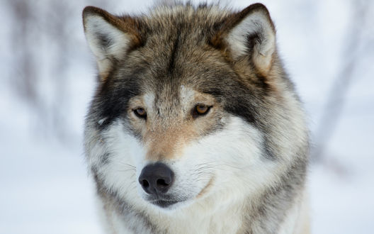 Обои Морда грустного волка, стоящего среди снега