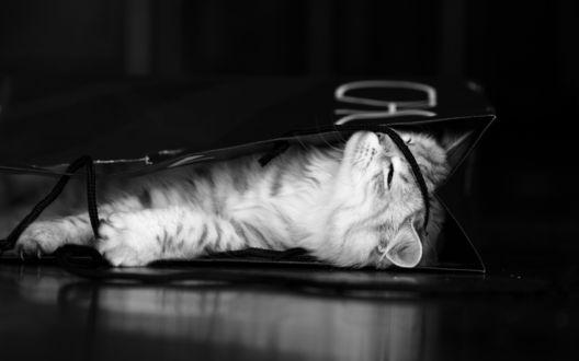 Сиамские кошки обои на рабочий стол 5