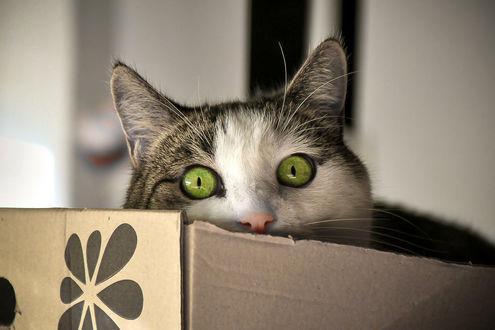 Обои Мордашка кошки с зелеными глазами торчит из коробки