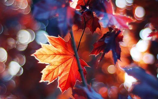 Обои Кленовые листья на фоне бликов