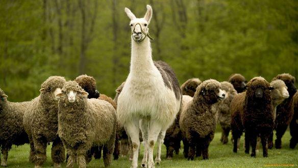 Обои Лама в стаде овец