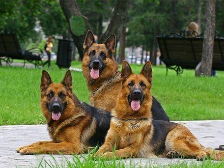 Обои Собаки породы немецкая овчарка, лежат на тропинке в парке