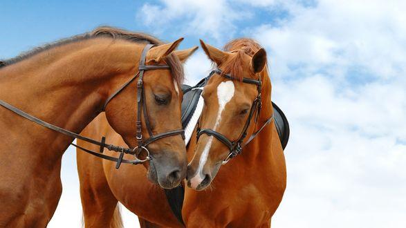 Обои Пара лошадей на фоне голубого неба