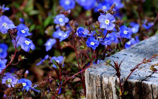 Обои Ветка с синими цветами касается бревна