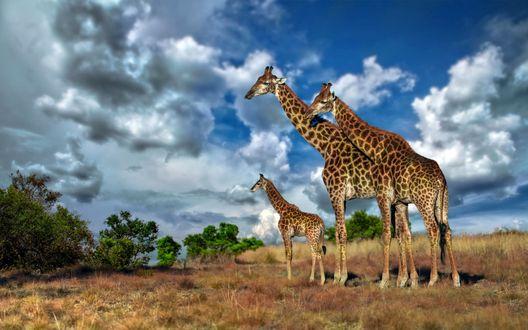 Обои Африка, саванна, семейство жирафов на фоне облачного неба