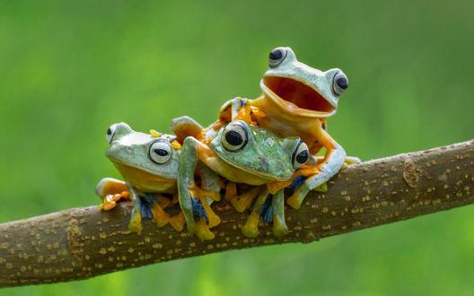 Обои Три прикольные лягушки сидят на ветке дерева