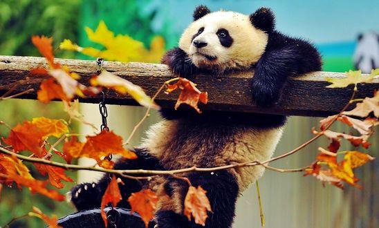 Обои Панда на бревне
