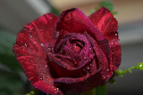 Обои Бордовая роза в каплях росы, ву Jose Thompson