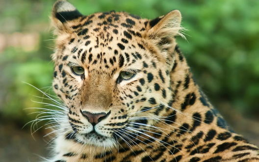 Обои Леопард внимательно смотрит на что-то