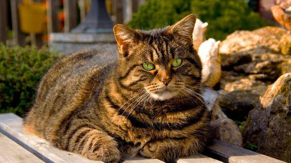 Обои Большой серый, полосатый кот, разлегся на скамейке и высматривает что-то своими зелеными глазами
