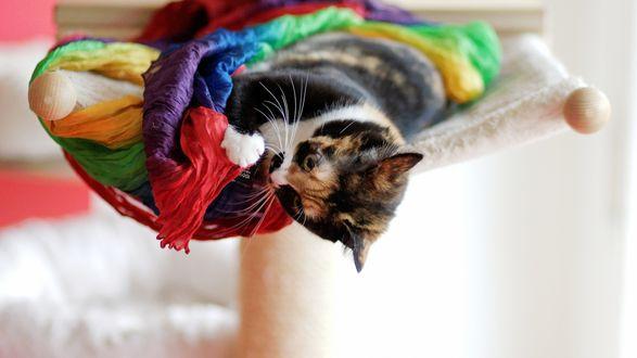 Обои Трехцветный котенок играет с шарфиком