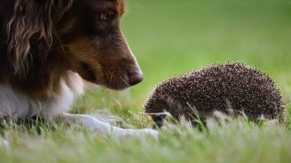 Обои Собака смотрит на спящего ежика в траве