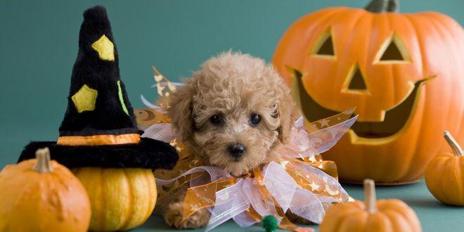 Обои Небольшая собачка нарядилась к Хеллоуину, сидит около тыкв