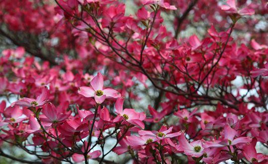 Обои Весенние цветение, на дереве распустились розовые цветы