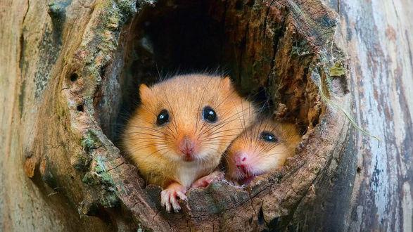 Обои Две мышки в дупле дерева