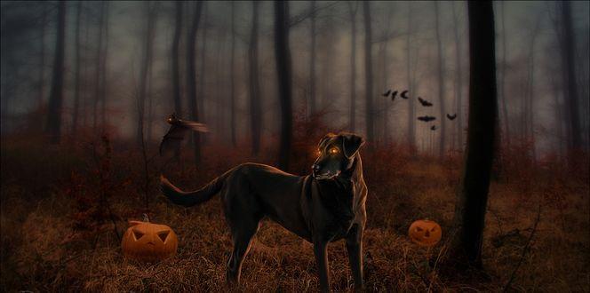 Обои Собака-оборотень, со светящимися глазами, стоит в темном лесу, рядом лежат тыквы Джека, и летают летучие мыши