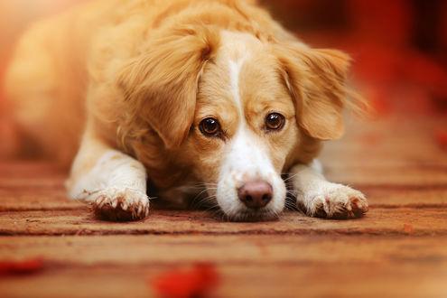 Обои Рыже-белый пес лежит на полу в доме и смотрит на нас выразительным взглядом
