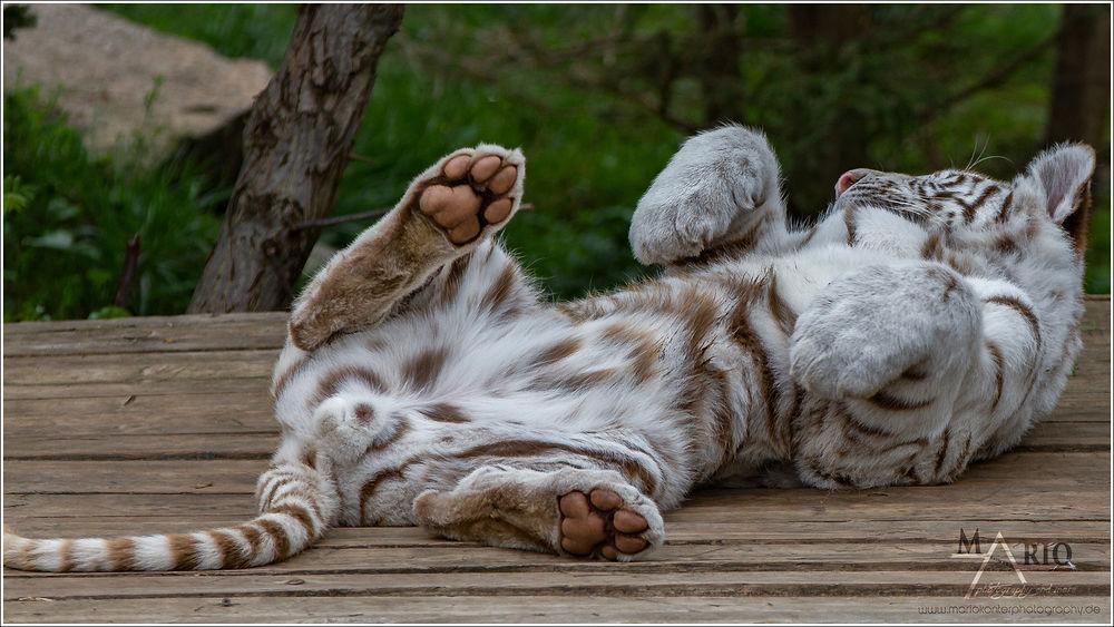 Тигр лежит