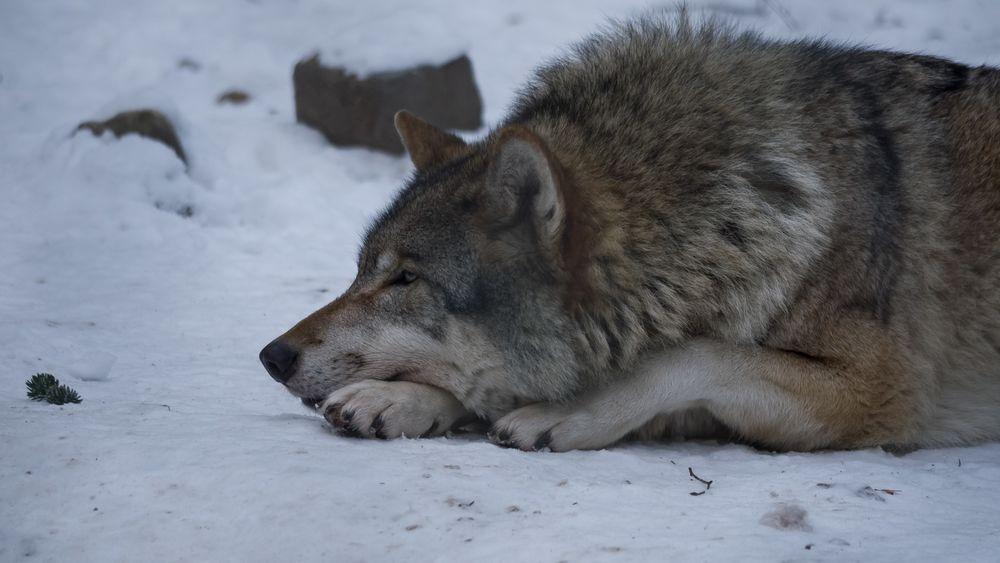 картинка лежащего волка подобрать акцентный