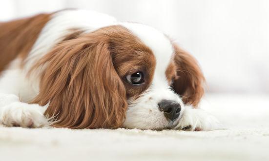 Обои Маленькая собачка лежит на белоснежном коврике и о чем-то грустит