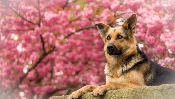 Обои Немецкая овчарка лежит на бетонной поверхности на фоне дерева, которое цветет нежным розовым цветом
