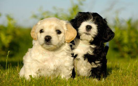Обои Два милых щенка сидят в траве