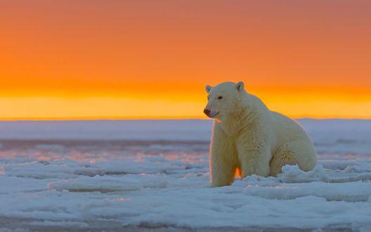 Обои Аляска, белый медведь сидит на снегу