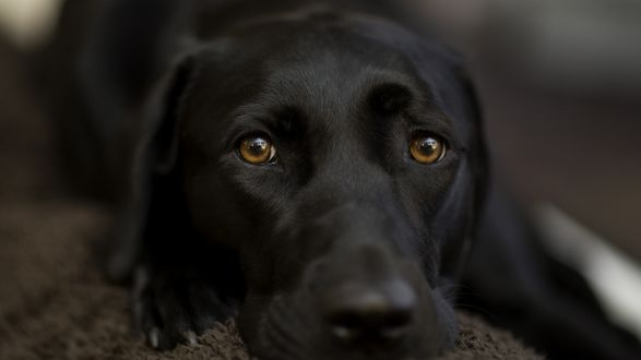 Обои Большой, черный пес лежит на коврике и смотрит печальными взглядом на нас